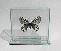 Сувенир - Бабочка под стеклом Parnassius staudingeri