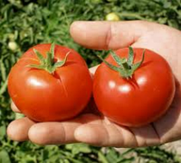 Семена помидора Топспорт F1 5 г семян детерминантный