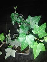 Плющ зелений, фото 1