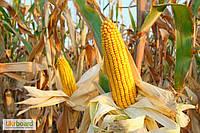 Гибрид кукурузы РАМ 8143 (ФАО 260)