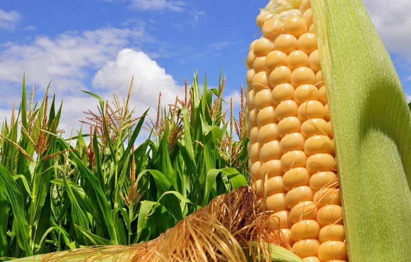 Гибрид кукурузы Гран 6