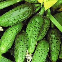 Семена огурцов Кустовой