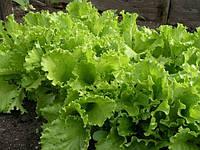 Семена салата Одесский кучерявец весовые
