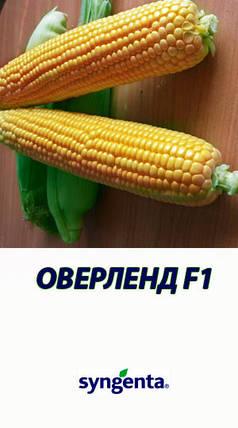 Семена кукурузы Оверленд F1 (Syngenta), 100 тыс. семян — среднеспелая (85 дней), сахарная, фото 2