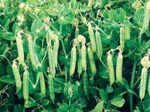 Семена гороха Дакота (Syngenta) 100000 семян/100 тыс. сем — (50 дней), крупнозернистый, овощной, фото 2
