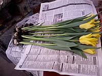 Тюльпан Сиетл Голландия к 8 марта