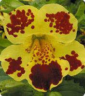 Семена губастика Окинава Yellow Blotch Kitano Seeds 100 шт