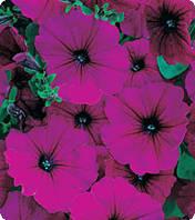 Семена петунии Амфора, Kitano Seeds, Ruby, 500 драже