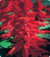 Семена сальвии Оливер, Kitano Seeds, Red, 1 г
