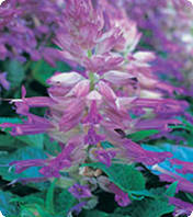 Семена Сальвии Оливер, 1 г. семян, Kitano Seeds, Lilac Bicolour