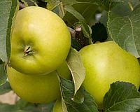 Яблоня Гринс Ливз. (54-118). Осенний сорт.