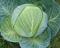 Семена капусты б/к Центурион F1, от 2500 шт, Clause