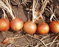 Семена репчатого лука Испаньол, от 500 г, Clause