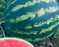Семена арбуза Бонта F1, 1000 шт, Seminis