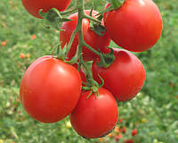 Семена томата детерминантного Фортикс F1 Syngenta 5 000 шт