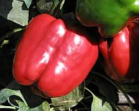 Семена перца Красный рыцарь F1 Seminis 500 шт