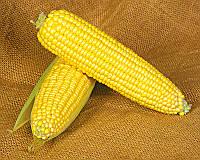 Семена сахарной кукурузы Оверленд F1, от 5 г, Syngenta