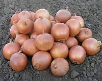 Семена репчатого лука Пандеро F1, от 1 г, Nunhems