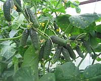 Семена огурца Афина F1, от 20 семян, Nunhems 20 шт.