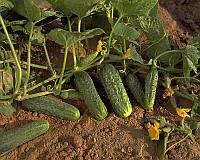 Семена огурца Криспина F1, 15 шт, Nunhems 100 шт.