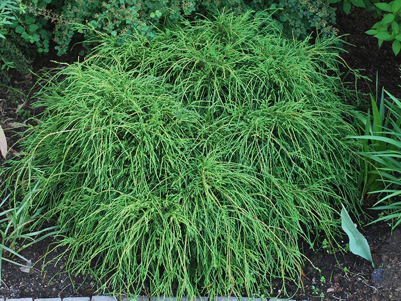 Кипарисовик горіхоплідний Filifera Nana 3 річний, кипарисовик горохоплодный Филифера Нана, Chamaecyparis