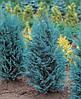 Кипарисовик Лавсона Pelt's Blue 3 річний, Кипарисовик Лавсона Пельтс Блю Chamaecyparis lawsoniana Pelt's Blue