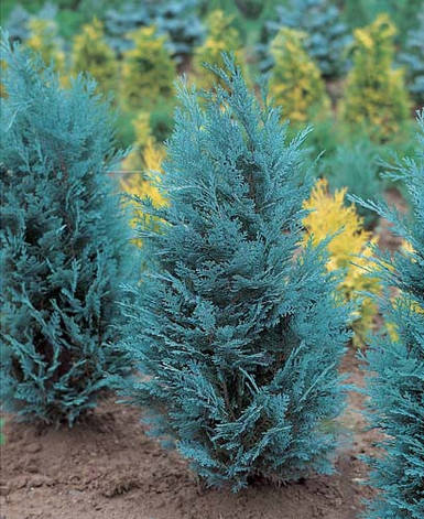 Кипарисовик Лавсона Pelt's Blue 3 річний, Кипарисовик Лавсона Пельтс Блю Chamaecyparis lawsoniana Pelt's Blue , фото 2