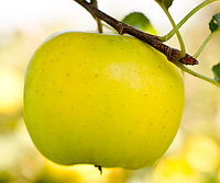 Яблоня Богемия Голд. (М.9). Зимний сорт