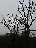 Обрізка садових дерев, Обрізка фруктових дерев