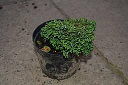 Кипарисовик горохоплідний Hime Sawara 3 річний, Кипарисовик горохоплодный Хайм Савара, chamaecyparis pisifera, фото 3