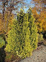 Кипарисовик Лавсона Golden Wonder 3 річний, Кипарисовик Лавсона Голден Вондер, Chamaecyparis Golden Wonder