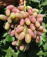 Саженцы винограда Виктор (корнесобственные)
