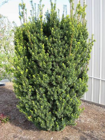 Тис середній Hicksii 3 річний, Тис средний Хиксии, Taxus media Hicksii, фото 2