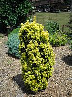 Тис ягідний David 3 річний, Тис ягодный Давид, Taxus baccata David