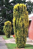 Тис ягідний Fastigiata Aurea 3 річний, Тис ягодный Фастигиата Ауреа, Taxus baccata Fastigiata Aurea