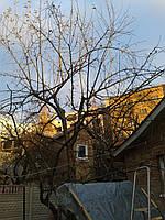 Обрізка саду в Києві