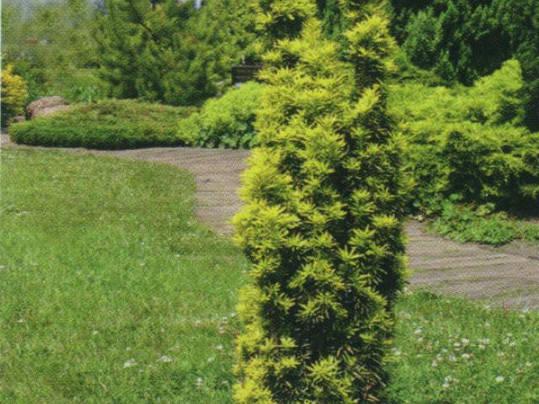 Тис ягідний Krzysztof 3 річний, Тис ягодный Кристоф,, фото 2