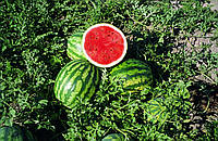 Семена Арбуз Крисби F1 поштучно 10 семян Nunhems, фото 1