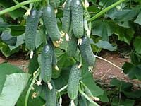 Семена огурца Мадита F1 (Seminis) 250 семян - партенокарпик, ультра-ранний гибрид (40-45 дней)