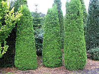 Туя західна Columna 4 річна, Туя западная Колумна, Thuja occidentalis Columna