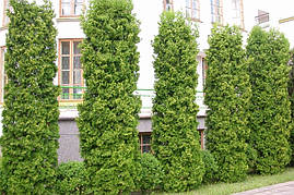 Туя західна Columna 4 річна 0,6-0,8м, Туя западная Колумна, Thuja occidentalis Columna, фото 3
