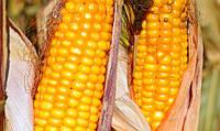 Семена кукурузы Гран 310 (среднеспелый, ФАО 250) - Внис 2017 г.у