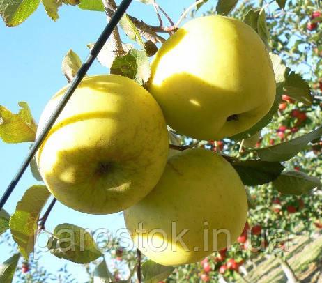 Саженцы яблони Лана. (М.26). Зимний сорт.