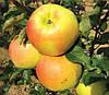 Яблоня Орион. (М.9) Зимний сорт.