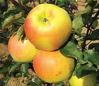 Яблоня Орион. (Б7-35) Зимний сорт.
