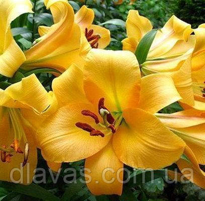 Лилия САЛТАРЕЛЛО (Saltarello) ОГРОМНЫЕ цветы