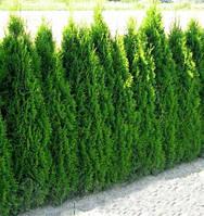 Туя західна Smaragd 5 річна 70см, Туя западная Смарагд, Thuja occidentalis Smaragd