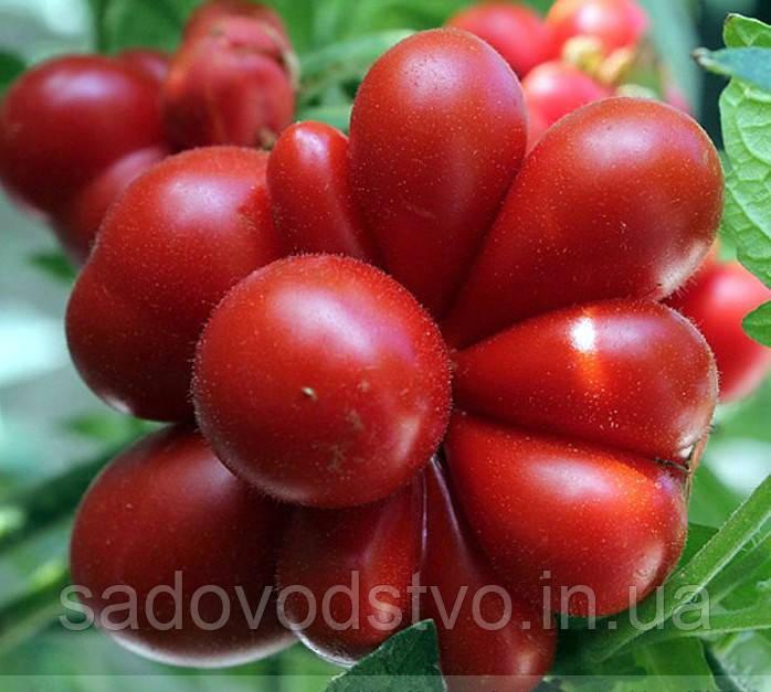 Райсе  томат