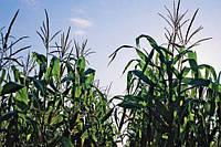 Какую кукурузу лучше сеять в 2017 году?