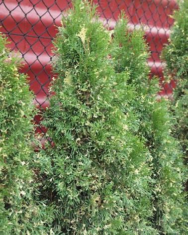 Туя західна Smaragd Variegata 4 річна, Туя западная Смарагд Вариегата, Thuja occidentalis Smaragd variegatа, фото 2